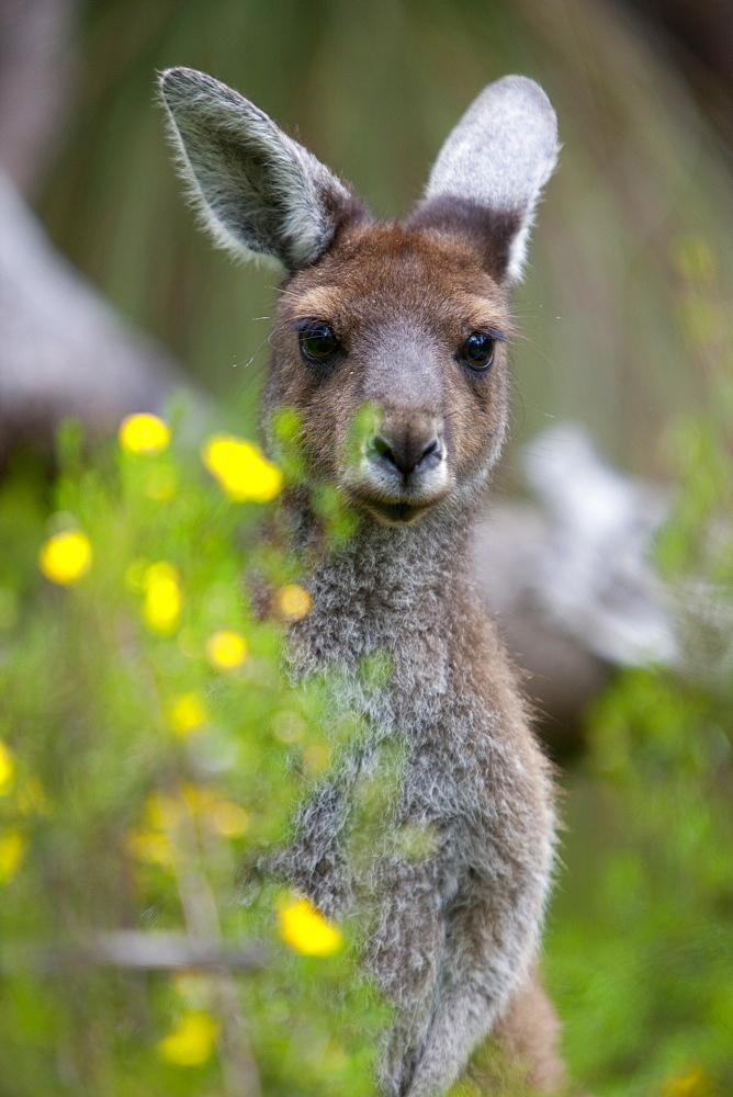 Western gray kangaroo (Macropus fuliginosus), Yanchep National Park, West Australia, Australia, Pacific - 748-1302