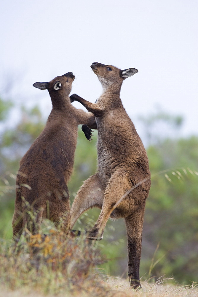 Kangaroo Island grey kangaroos (Macropus fuliginosus), Lathami Conservation Park, Kangaroo Island, South Australia, Australia, Pacific - 748-1323
