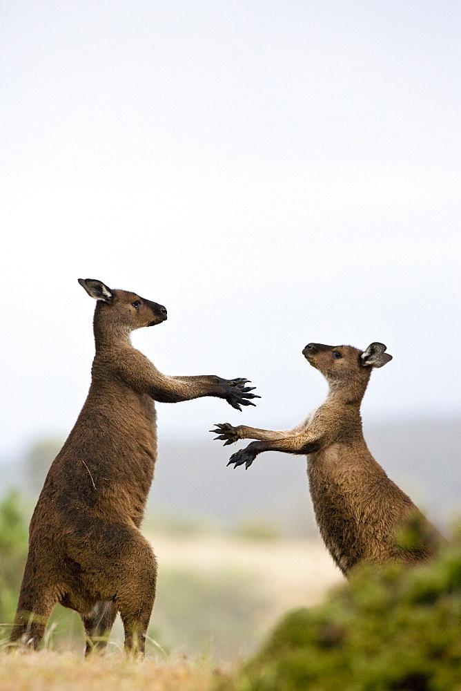 Kangaroo Island grey kangaroos (Macropus fuliginosus), Lathami Conservation Park, Kangaroo Island, South Australia, Australia, Pacific - 748-1324