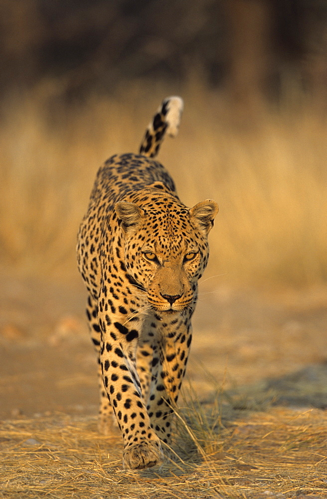 Leopard, Panthera pardus, Duesternbrook Private Game Reserve, Windhoek, Namibia