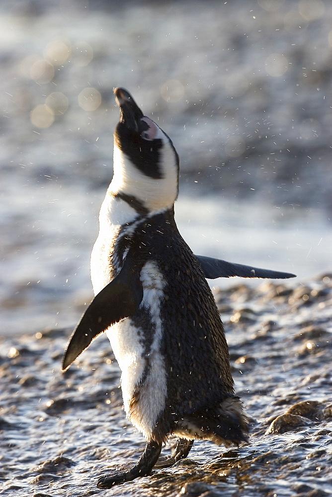 Jackass penguin (African penguin) (Spheniscus demersus), Cape Town, South Africa, Africa