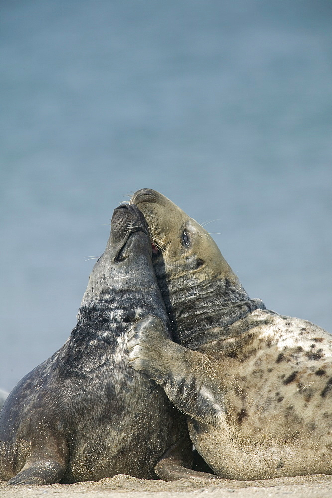 Gray seal (Halichoerus grypus), Heligoland, Germany, Europe - 748-296