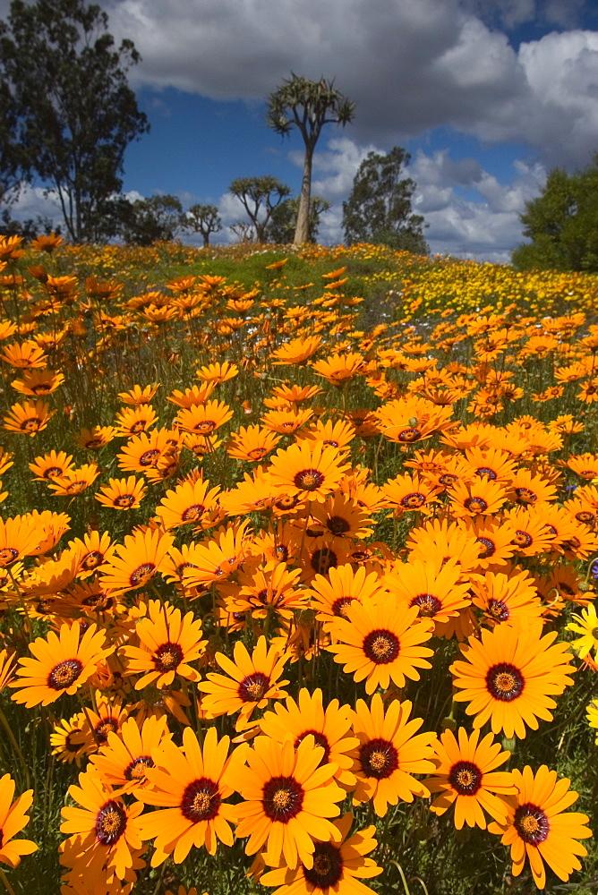 Daisy, (Asteraceae), West Coast N.P., Langebaan, South Africa - 748-41