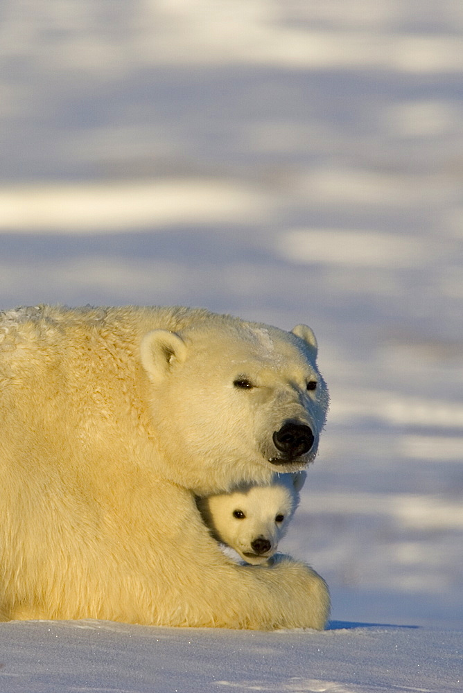 Polar Bear with cubs, (Ursus maritimus), Churchill, Manitoba, Canada - 748-56