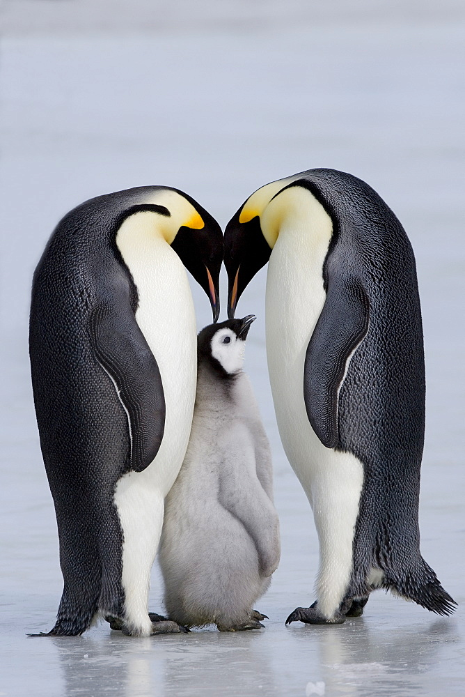 Emperor penguin chick and adulta (Aptenodytes forsteri), Snow Hill Island, Weddell Sea, Antarctica, Polar Regions