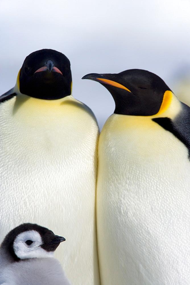 Emperor penguins (Aptenodytes forsteri), Snow Hill Island, Weddell Sea, Antarctica, Polar Regions - 748-648