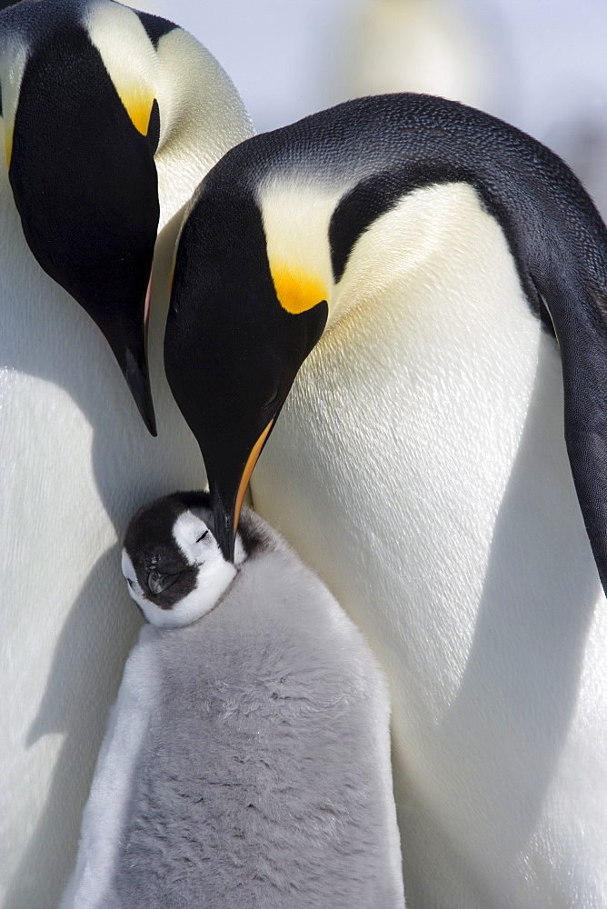 Emperor penguin chick and adults (Aptenodytes forsteri), Snow Hill Island, Weddell Sea, Antarctica, Polar Regions