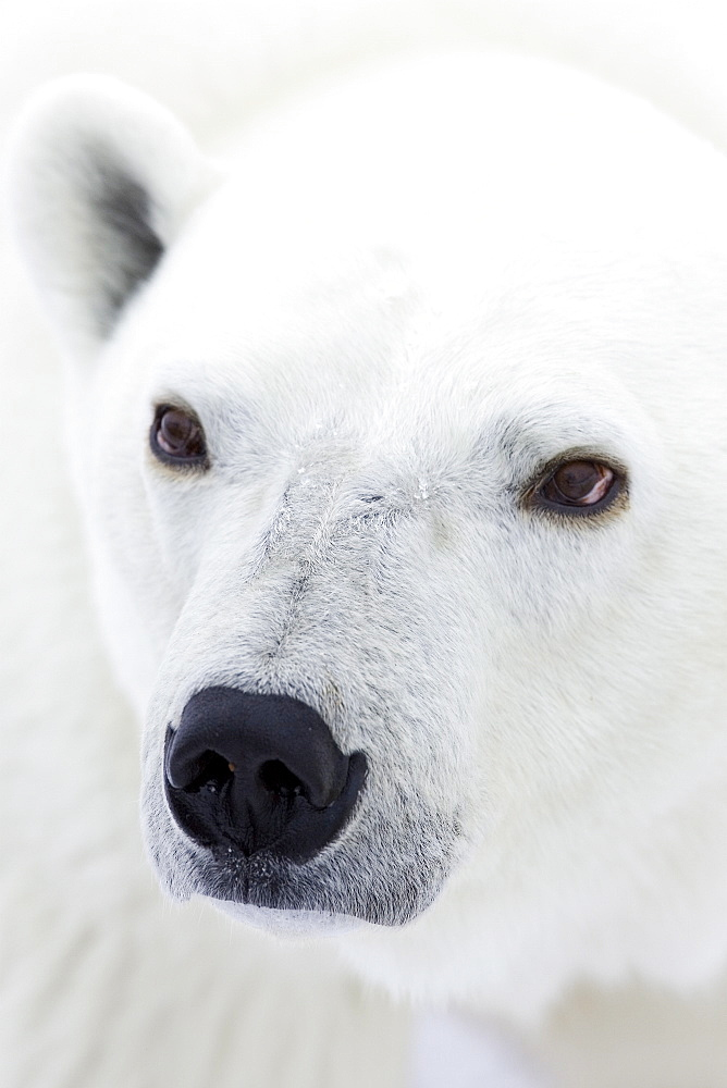 Polar bear (Ursus maritimus), Hudson Bay, Churchill, Manitoba, Canada, North America - 748-654