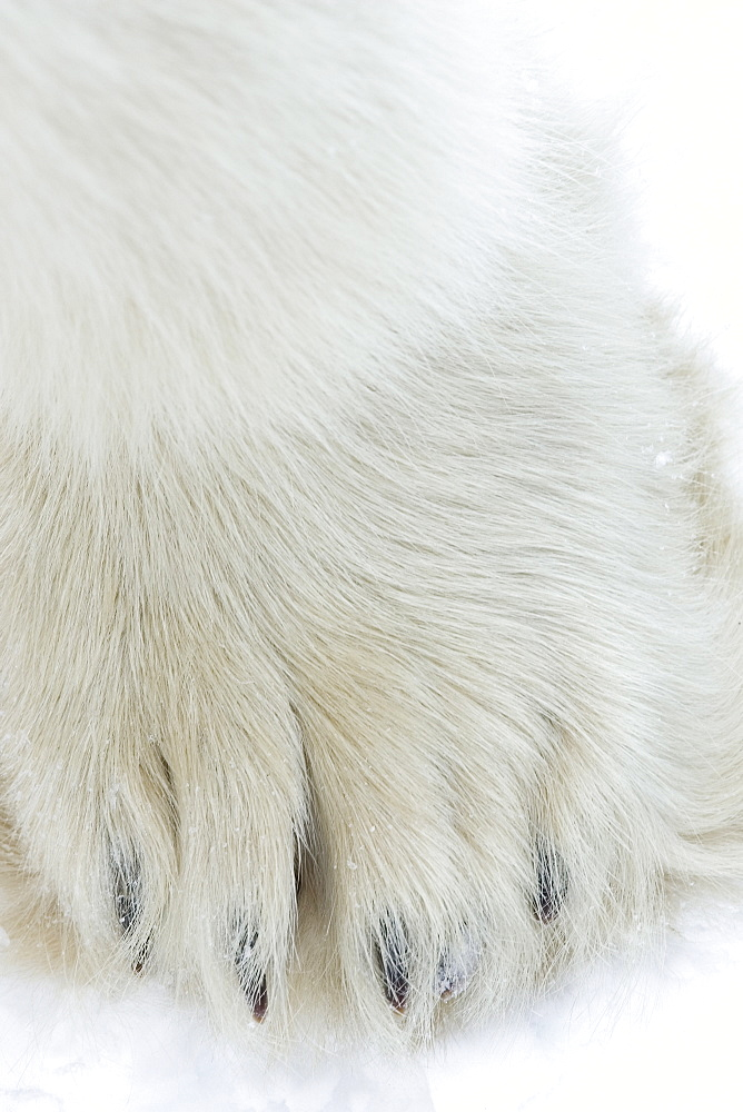 Polar bear (Ursus maritimus), Churchill, Hudson Bay, Manitoba, Canada, North America - 748-802