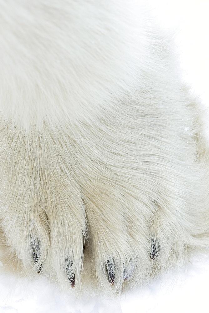 Polar bear (Ursus maritimus), Churchill, Hudson Bay, Manitoba, Canada, North America - 748-802