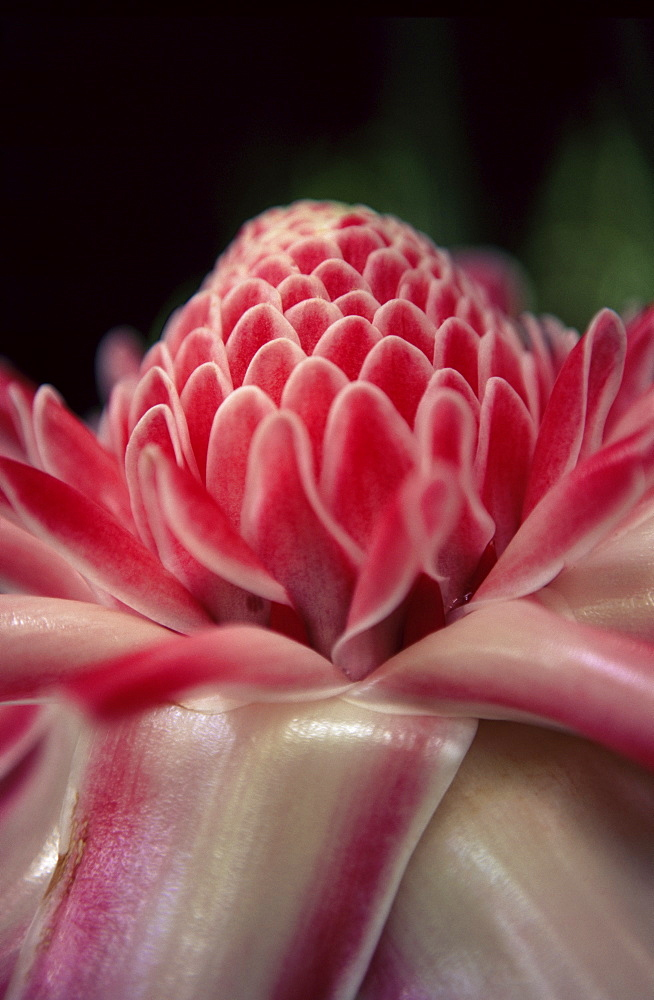 Torch ginger flower at the Balata Botanical Gardens, near Fort de France, Martinique, Lesser Antilles, West Indies, Caribbean, Central America