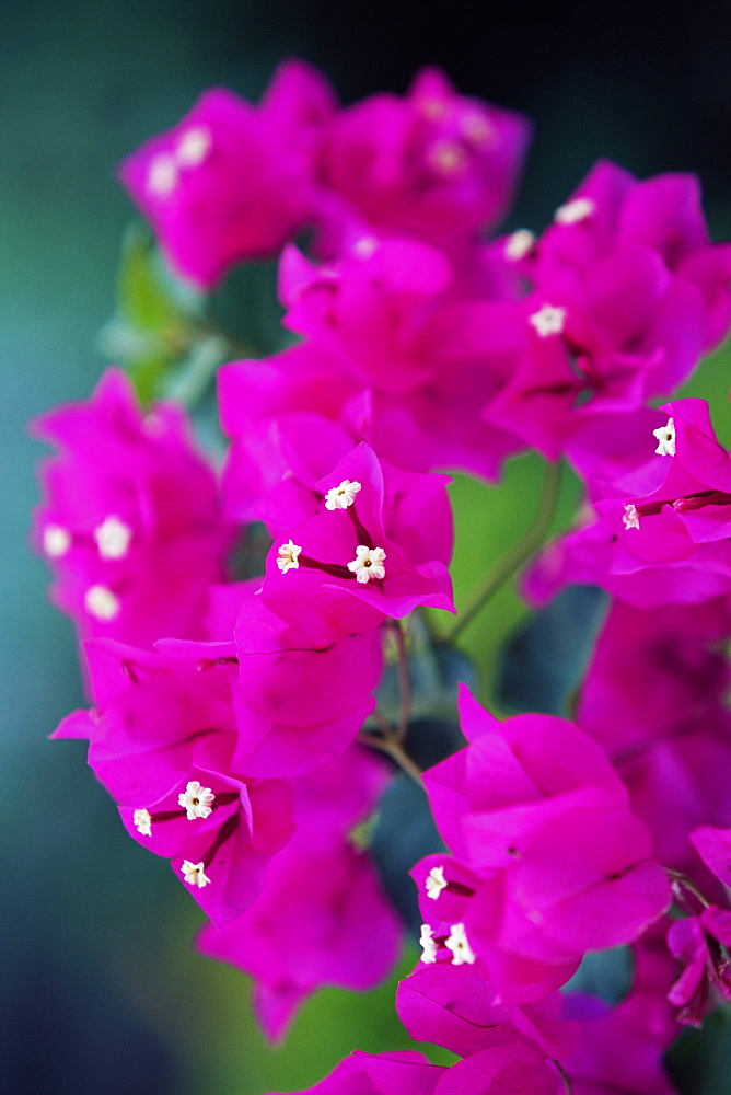Bougainvillea blooming, island of Martinique, Lesser Antilles, French West Indies, Caribbean, Central America