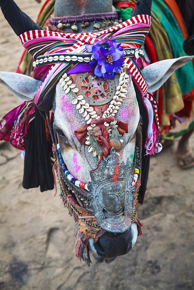 Decorated cow, Goa, India, Asia