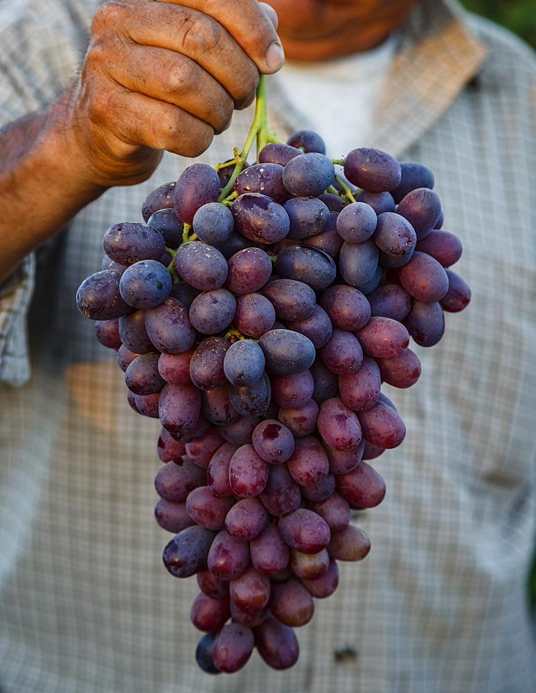 Grapes, San Joaquin Valley, California, United States of America, North America