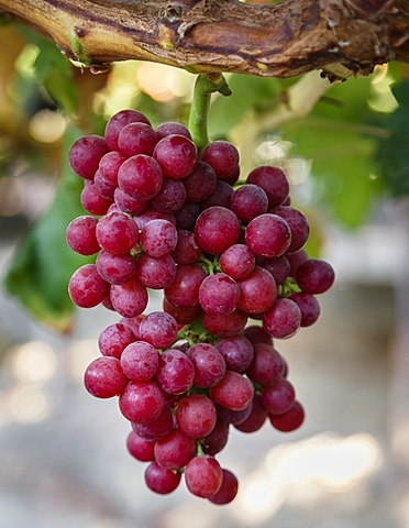 Grapes in San Joaquin valley, California, USA
