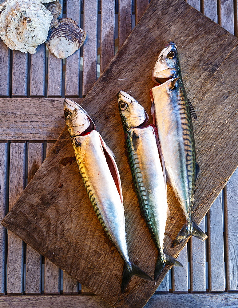 Mackerel fish, Grebbestad, Bohuslan region, west coast, Sweden, Scandinavia, Europe - 749-2197