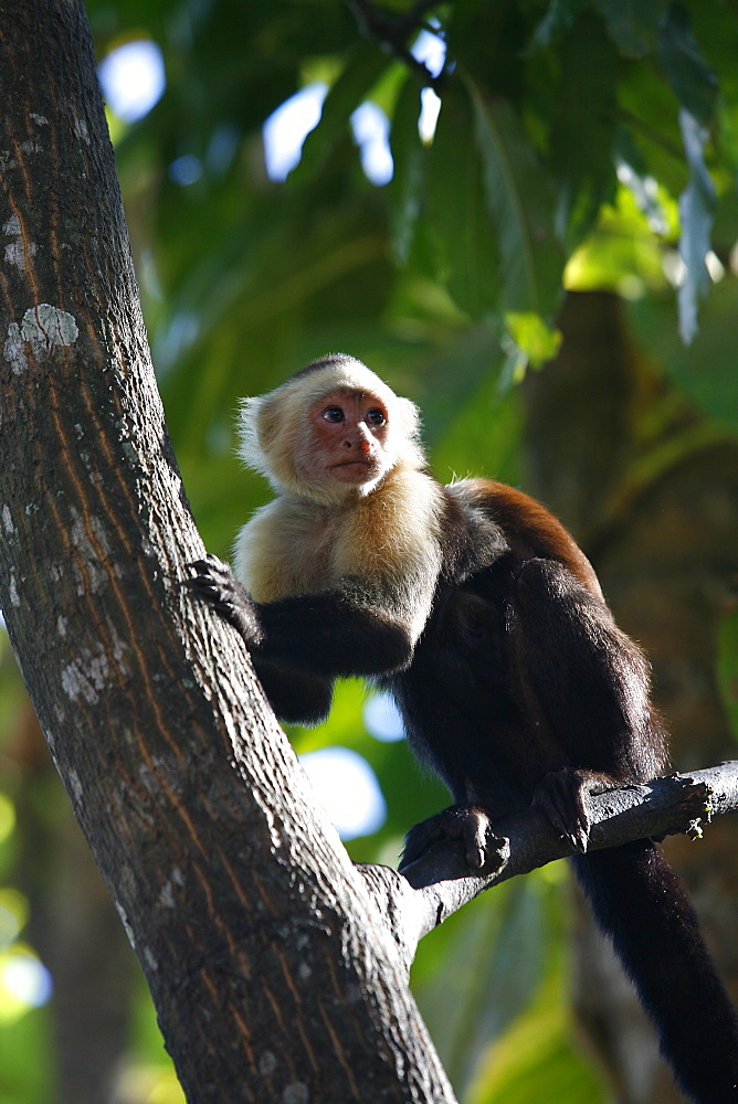 White faced Capuchin monkey, Montezuma, Nicoya Peninsula, Costa Rica, Central America