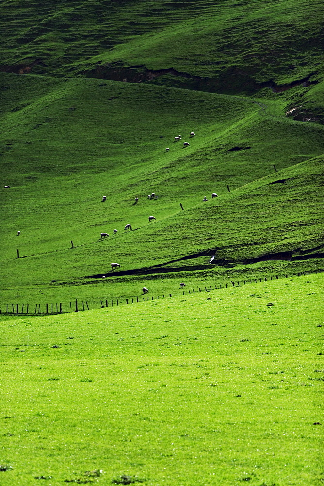 Sheep in pasture, Hawkes Bay region, North Island, New Zealand, Pacific