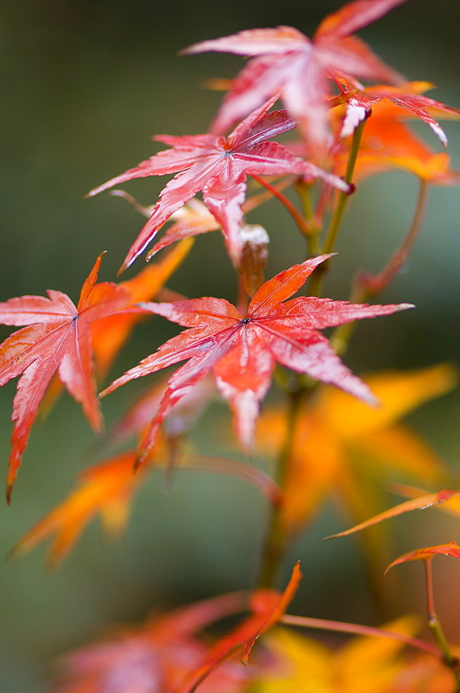 Maple leaves, Kyoto, Kansai (Western Province), Honshu, Japan, Asia - 756-1030