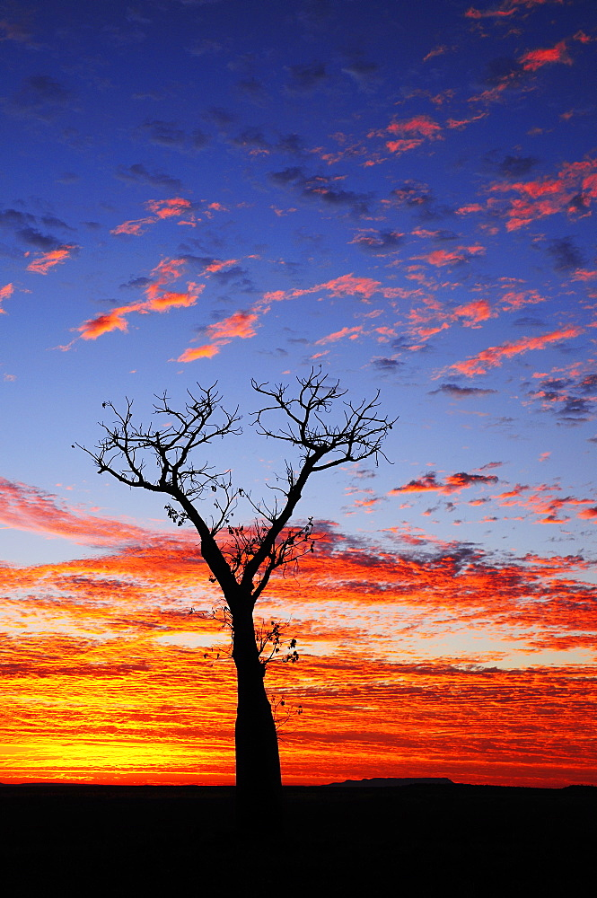 Boab tree at sunrise, Kimberley, Western Australia, Australia, Pacific - 756-1276