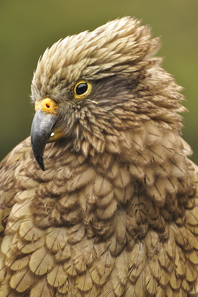 Kea (Nestor notabilis), Arthur's Pass, Canterbury high country, South Island, New Zealand, Pacific - 756-1694