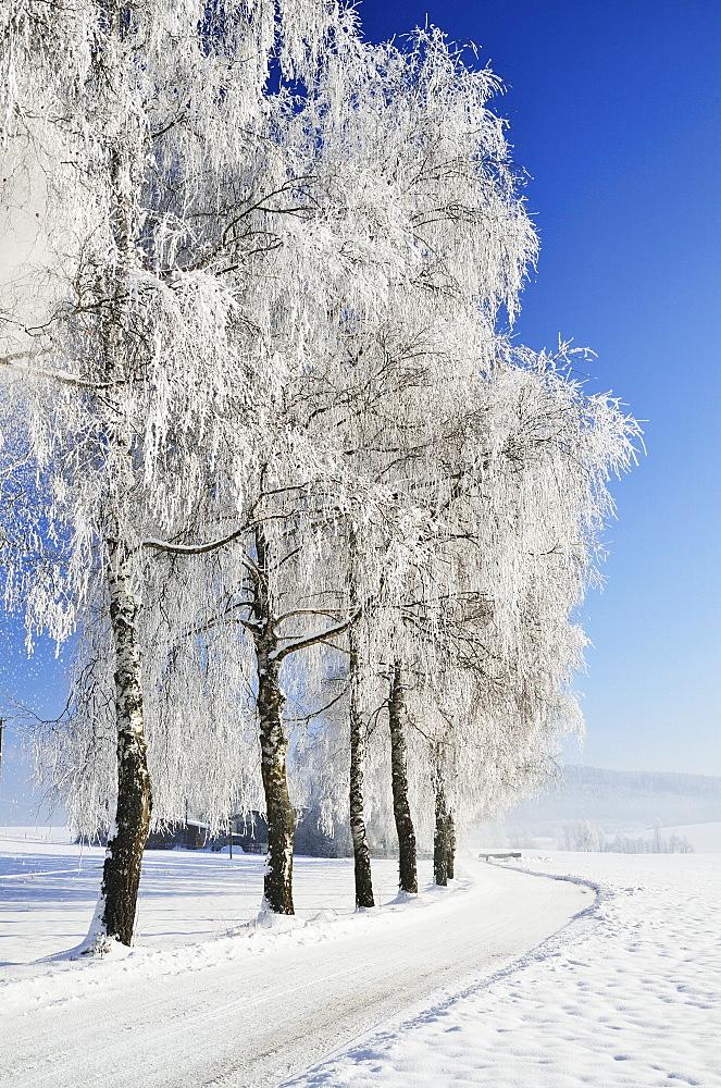 Birch trees with hoarfrost, near Villingen-Schwenningen, Black Forest-Baar (Schwarzwald-Baar) district, Baden-Wurttemberg, Germany, Europe