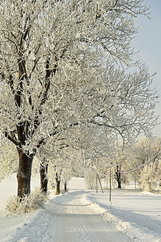 Beech trees with hoar frost, near Villingen-Schwenningen, Schwarzwald-Baar, Baden-Wurttemberg, Germany, Europe