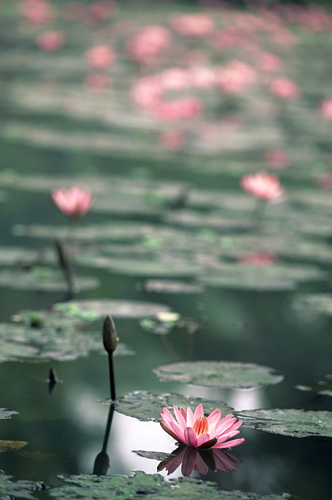 Lotus flower, Luang Prabang, Laos, Indochina, Southeast Asia, Asia