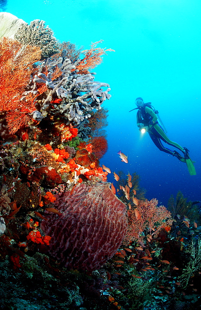 Scuba diver and coral reef, Indonesia, Indian Ocean, Komodo National Park