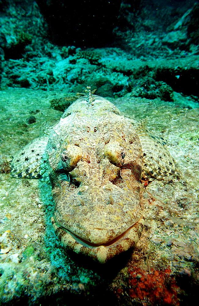 crocodilefish, Platycephalidae, Malaysia, Pazifik, Pacific ocean, Borneo, Lankayan