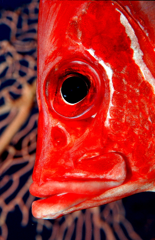 Longjawed squirrelfish, Sargocentron spiniferum, Maldives Island, Indian Ocean, Ari Atol, Maayafushi - 759-1626