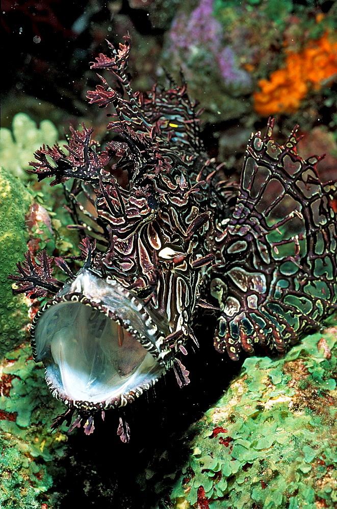 Merlet´s scorpionfish, Rhinopias aphanes, Australia, Pacific Ocean, Coral Sea