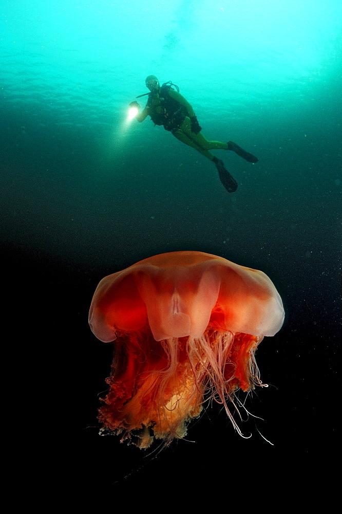 jellyfish and scuba diver, Aurelia aurita, Norway, Atlantic ocean, north atlantic ocean