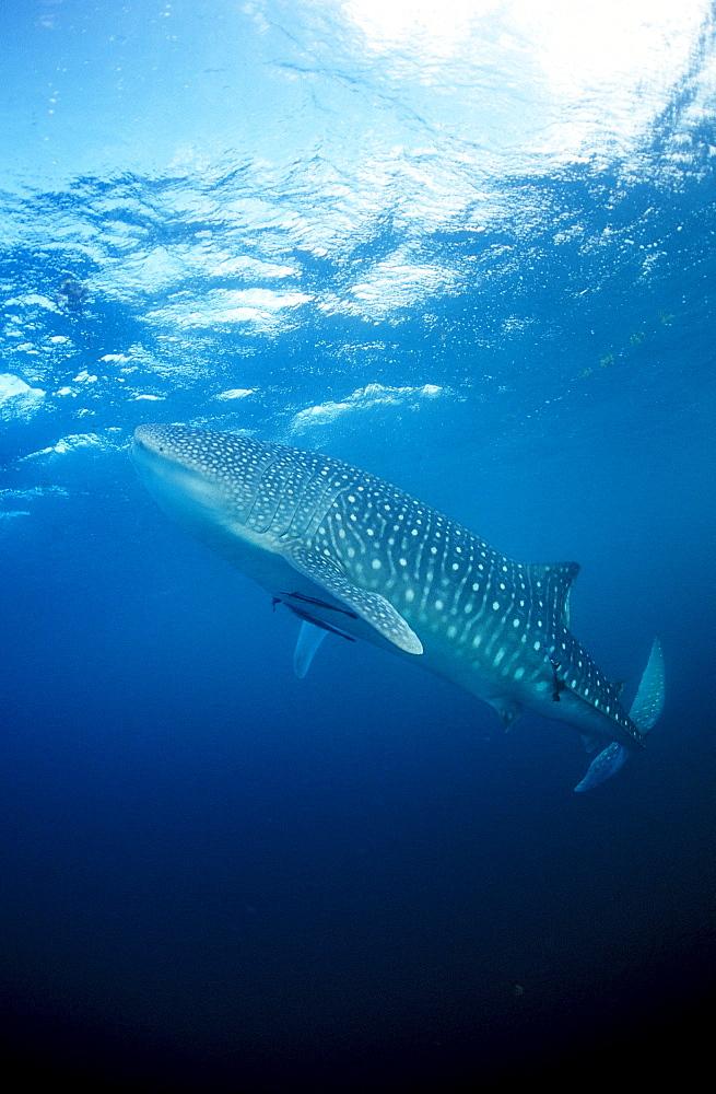 Eating Whale shark, Rhincodon thypus, Mauritius, Africa, Indian Ocean
