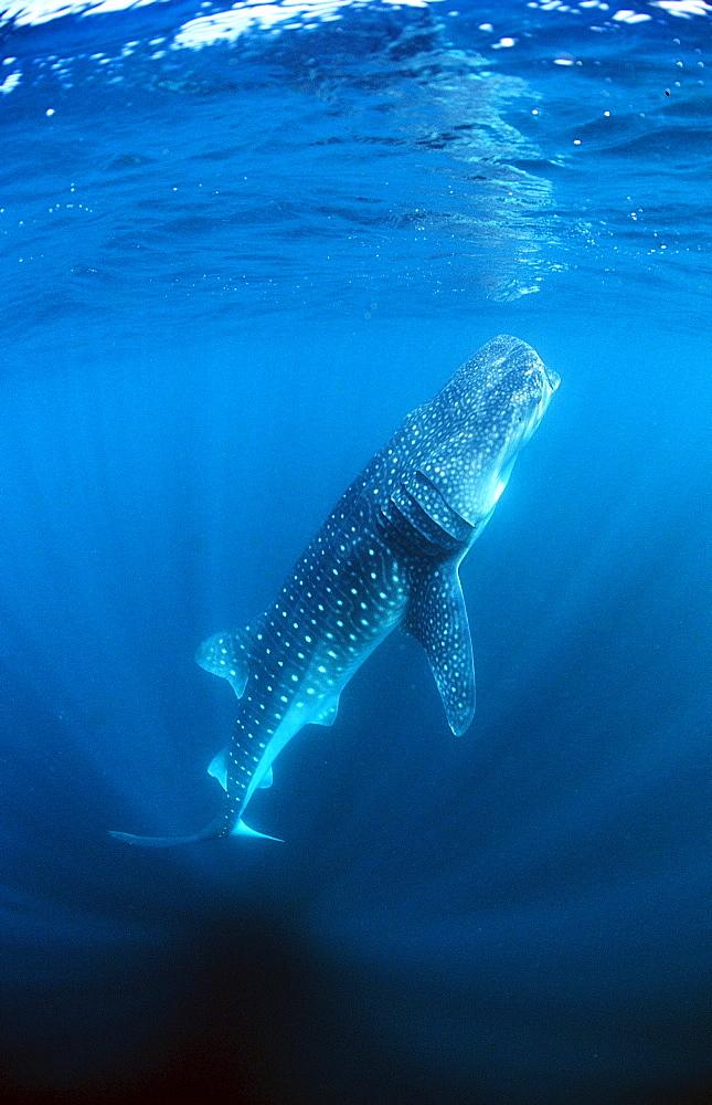 Eating Whale shark, Rhincodon thypus, Reunion, La Réunion, France, Indian Ocean