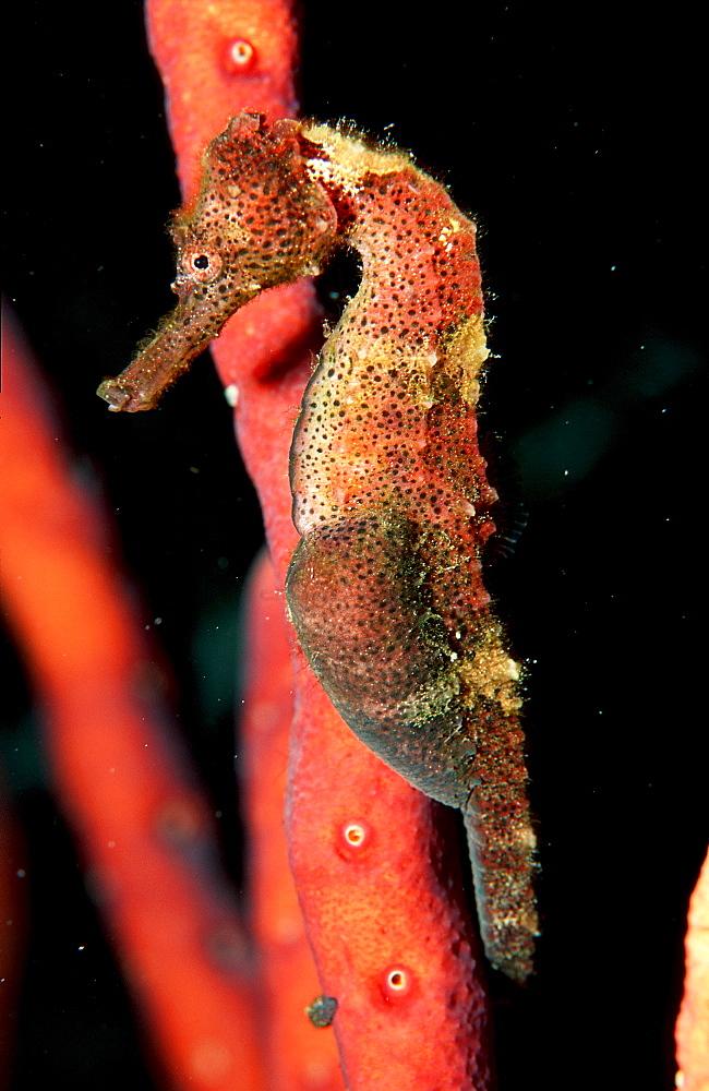 Longsnout Seahorse, Hippocampus reidi, Cuba, Caribbean Sea