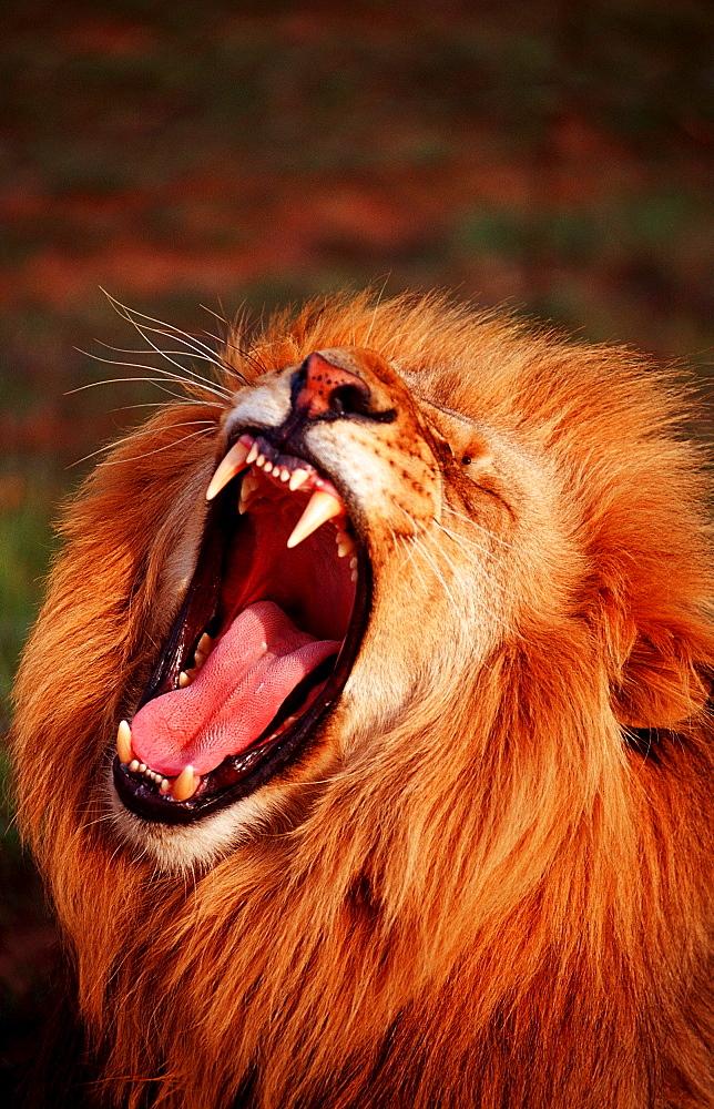 snarling lion, Panthera leo, South Africa, Kruger National Park - 759-2877