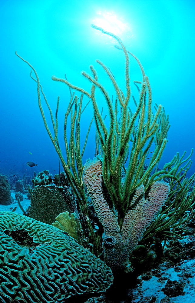 soft corals in the Caribbean sea, Dominican Republic, Caribbean Sea
