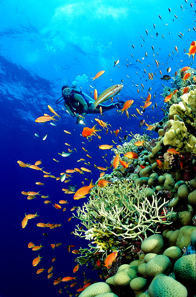Scuba Diver and Coral Reef, Egypt, Red Sea, Sinai