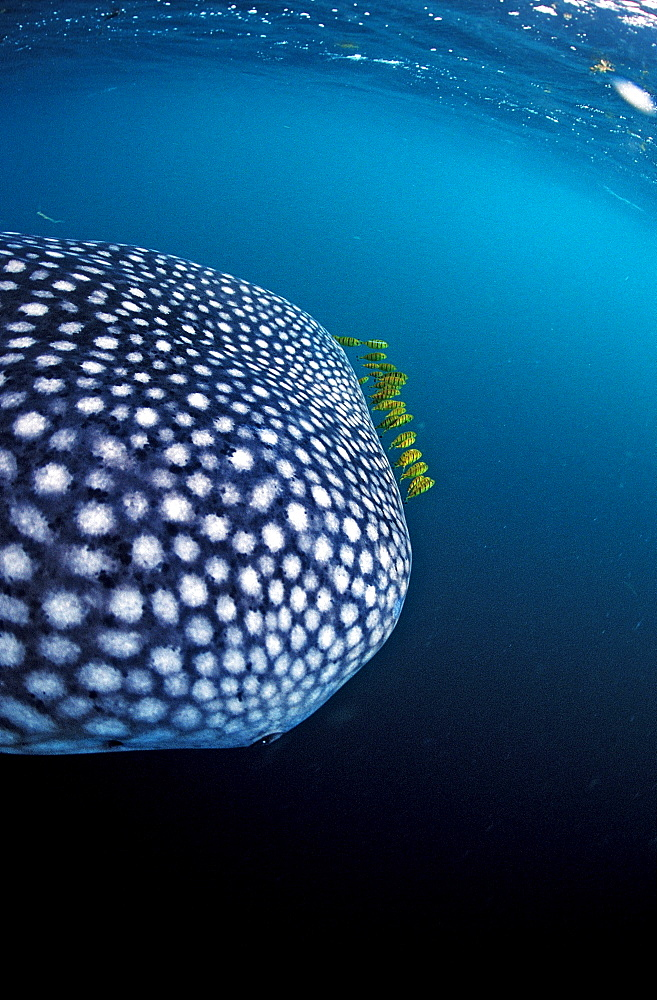 Whale shark with yellow pilot fishes, Rhincodon thypus, Djibouti, Djibuti, Africa, Afar Triangle, Gulf of Aden, Gulf of Tadjourah