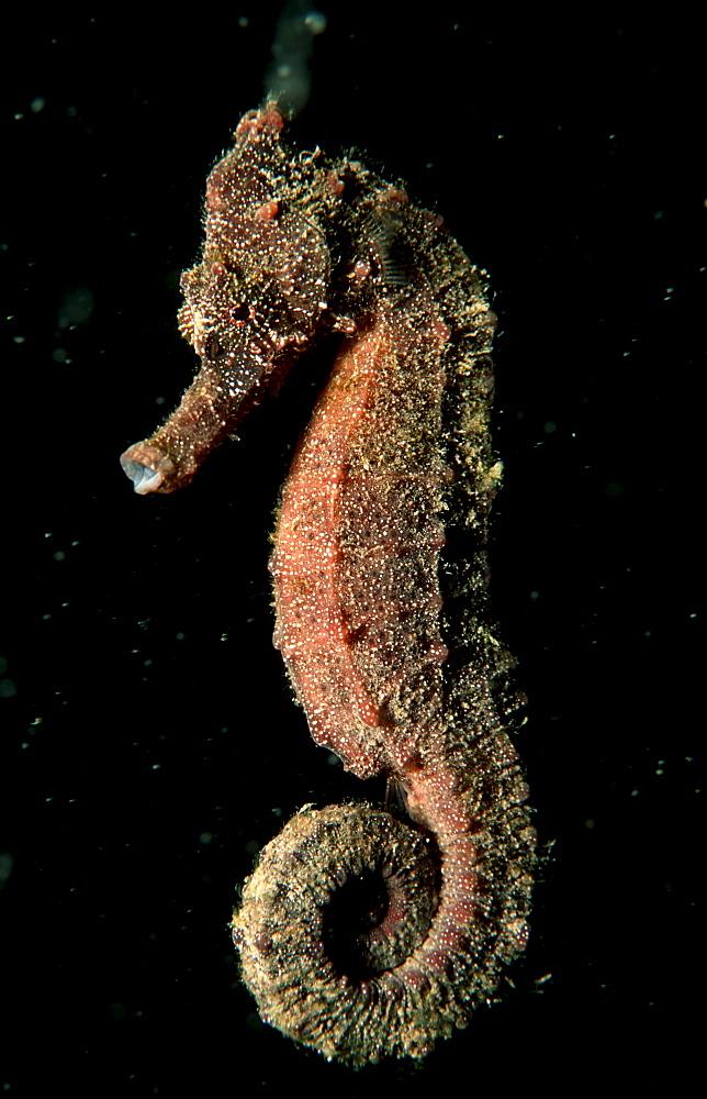 Longsnout Seahorse, Hippocampus reidi, Papua New Guinea, Pacific ocean