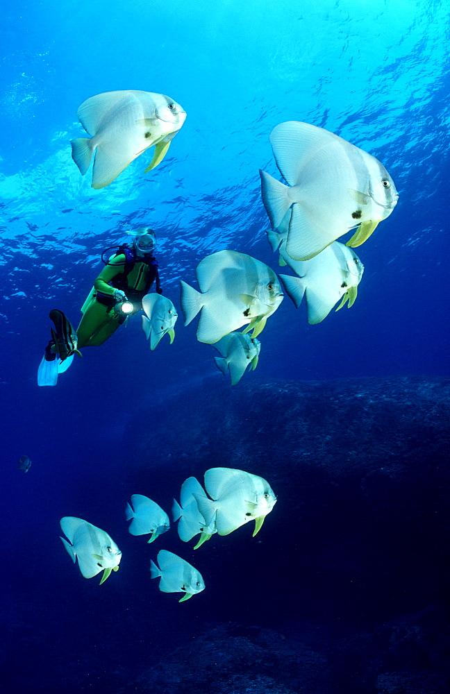 Pinnate batfish and scuba diver, Platax pinnatus, Malaysia, Pazifik, Pacific ocean, Borneo, Sipadan
