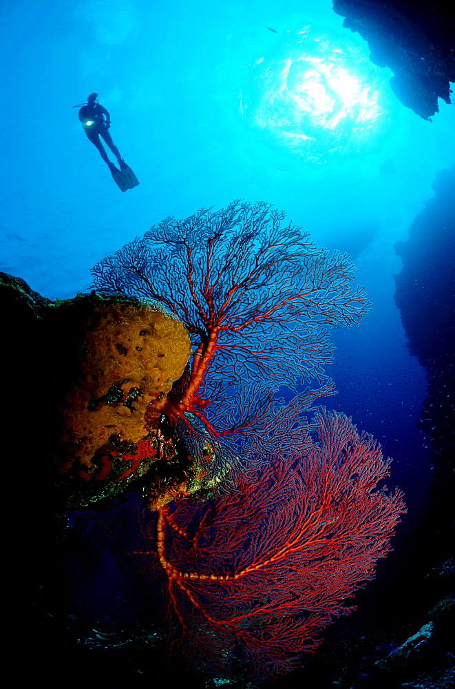 Drop off with Gorgonian coral, Bahamas, Caribbean Sea