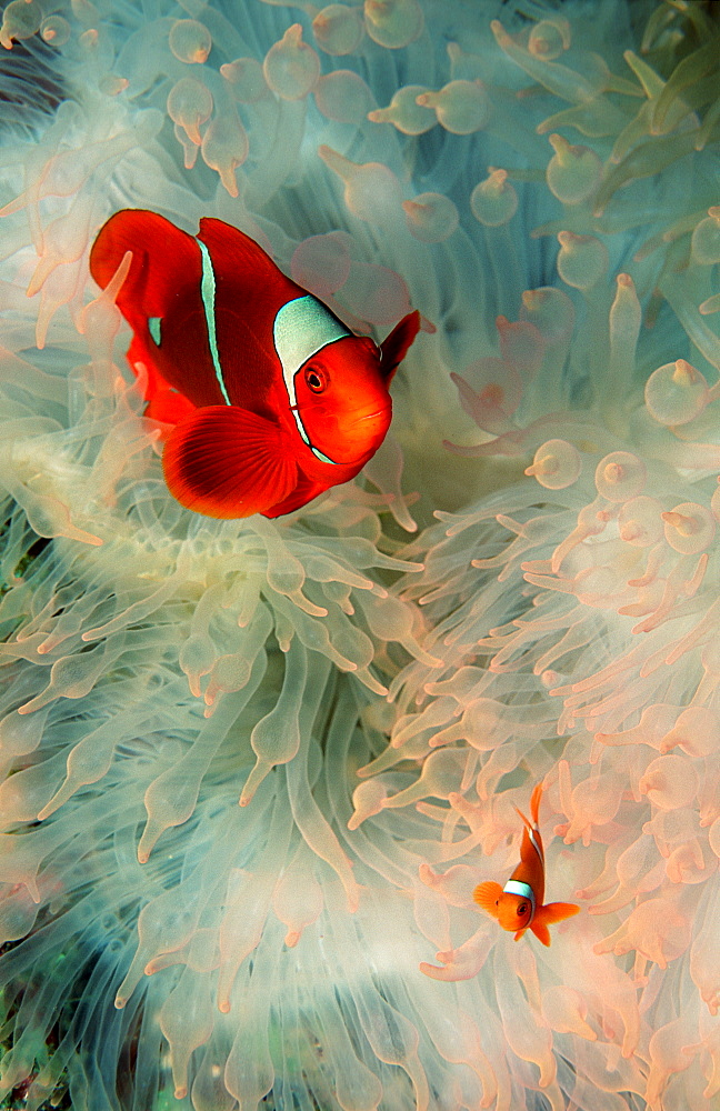 Spinecheek clownfish, Premnas aculeatus, Papua New Guinea, Pacific ocean