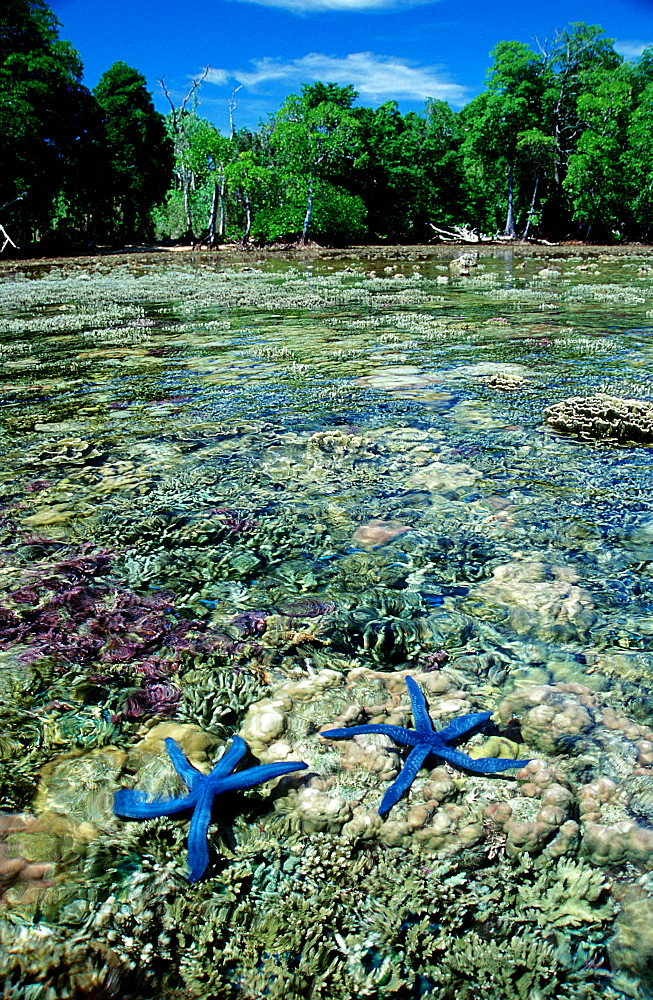Coast with starfishes and corals, Asteroidea, Papua New Guinea, New Ireland, Kavieng