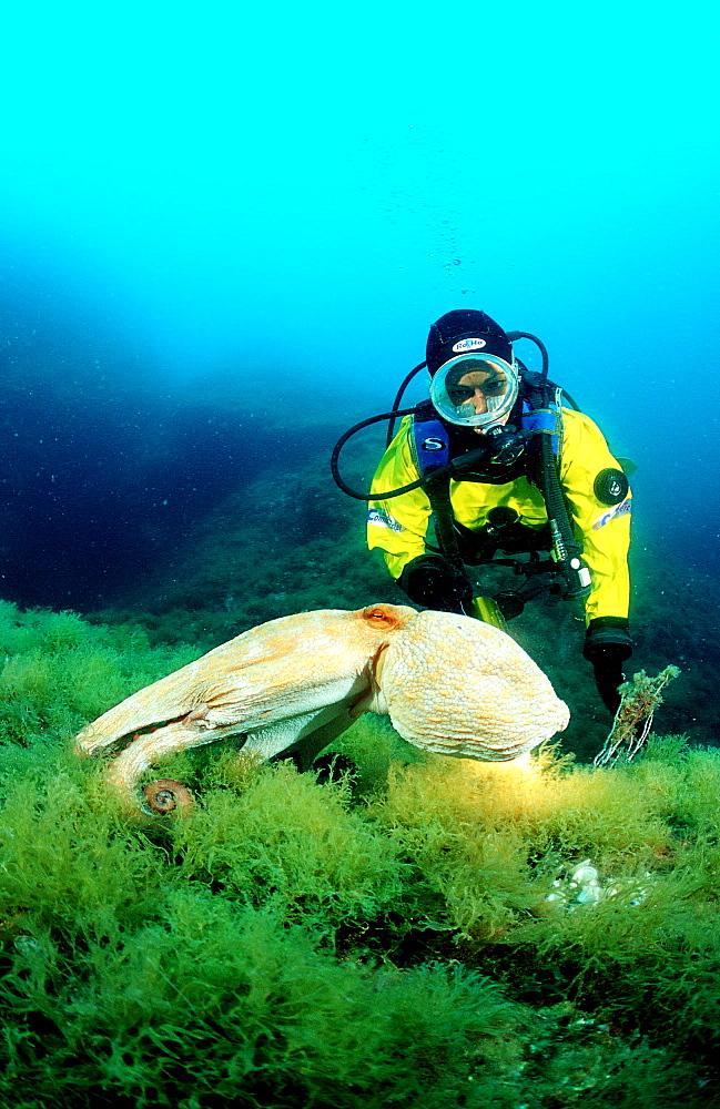 Octopus and scuba diver, Octopus vulgaris, Spain, Mediterranean Sea, Costa Brava