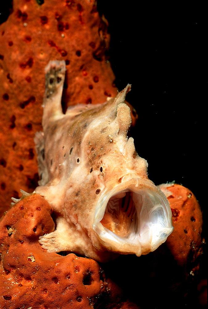 Longlure Frogfish, Antennarius multiocellatus, Curacao, Caribbean Sea, Netherlands antilles