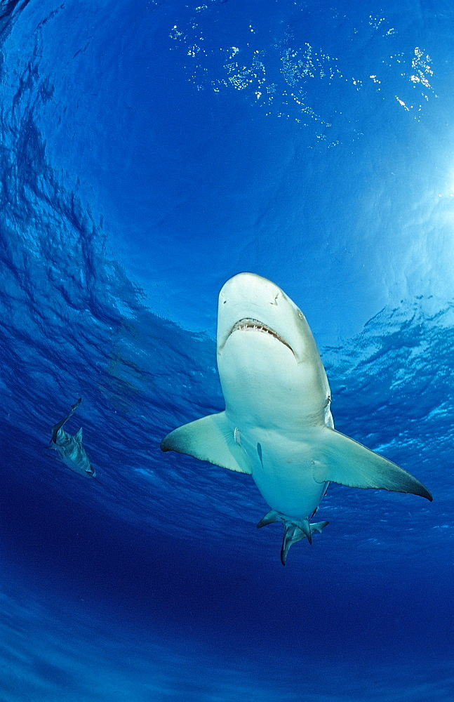 Lemon shark (Negaprion brevirostris), Grand Bahama Island, Bahamas, Atlantic Ocean, Central America