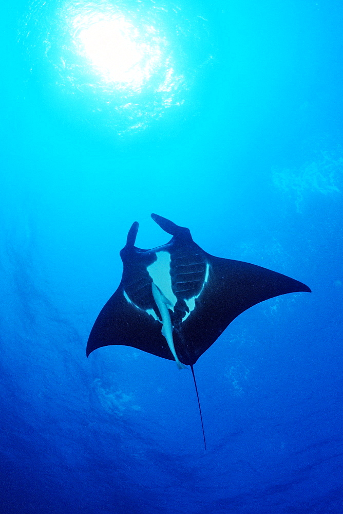 Manta ray (Manta birostris), Wingate Reef, Sudan, Red Sea, Africa