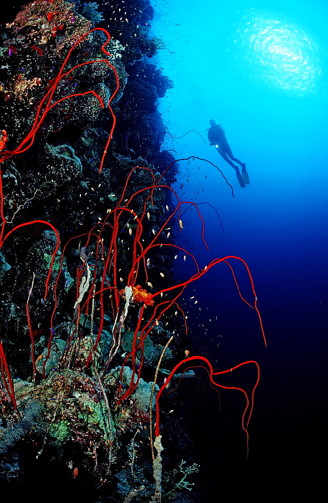 Scuba diver and red whip corals (Juncella sp.), Sudan, Red Sea, Africa